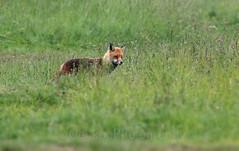 Red fox, Vulpes vulpes  (8) (Geckoo76) Tags: redfox vulpesvulpes fox