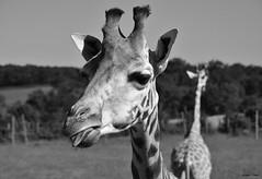 Je donne ma langue au chat !!! (François Tomasi) Tags: girafa girafe giraffe zoo zoodemervent naturzoo vendée parc parczoologique nature animal sauvage afrique wild france europe french noiretblanc blackandwhite monochrome reflex nikon françoistomasi tomasiphotography justedutalent yahoo google flickr pointdevue pointofview pov digital numérique 2019 vue lights light lumière iso filtre
