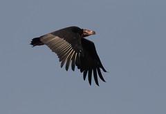 Red-headed Vulture (vischerferry) Tags: redheadedvulture vulture flightshot bandhavgarh sarcogypscalvus