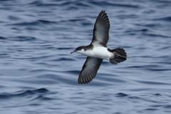 Audubon's Shearwater, Gulf Stream, Dare Co., NC_3868(1) (Patterns and Light) Tags: 2017 north carolina puffinus ilherminieri puffinusilherminieri