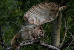 Owl stretch1 (1 of 1) (Jami Bollschweiler Photography) Tags: great horned owl stretch utah wildlife photography