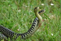 Couleuvre verte et jaune (Ezzo33) Tags: france gironde nouvelleaquitaine bordeaux ezzo33 nammour ezzat sony rx10m3 reptiles serpent verteetjaune