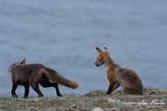Red Fox-19-051 (Ian L Winter) Tags: capestmarys capestmarysseabirdecologicalreserve ianwinterphoto nature newfoundland redfox wwwianwinterphotocom