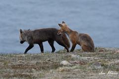 Red Fox-19-050 (Ian L Winter) Tags: capestmarys capestmarysseabirdecologicalreserve ianwinterphoto nature newfoundland redfox wwwianwinterphotocom