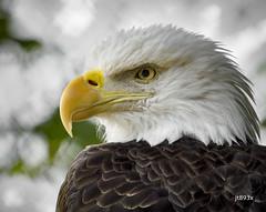 Bald Eagle (jt893x) Tags: 150600mm baldeagle d500 eagle haliaeetusleucocephalus jt893x nikon nikond500 portrait raptor sigma sigma150600mmf563dgoshsms thesunshinegroup alittlebeauty coth coth5 sunrays5 ngc