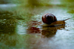 Slow  and Steady... (markmacbride) Tags: snail rain water wet raindrops nature green shell reflection weather storm detail drops puddle animals outside color sandiego california sony sonyalpha