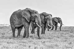 Elephants line in stormy evening (Barbara & Frank FORTUNEL-LELIEVRE) Tags: elephant kenya