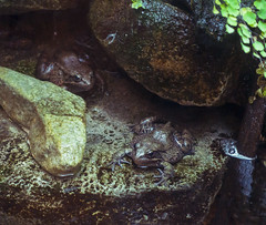 moterey bay acquarium frogs (Visual Thinking (by Terry McKenna)) Tags: monterey bay acquarium montereybayaquarium