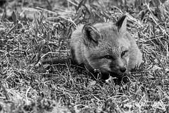 Fox B&W-19-001 (Ian L Winter) Tags: capestmarys capestmarysseabirdecologicalreserve ianwinterphoto nature newfoundland redfox wwwianwinterphotocom