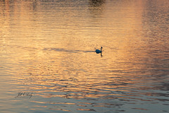 Swan Sunset on The Rhine (Jill Clardy) Tags: cruise europe rhine viking river breisach badenwürttemberg germany 201905299l8a4145 swan sunset dusk water ripples