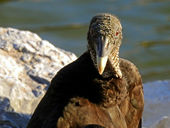 Tennessee River Park (mark owens2009) Tags: tennesseeriverpark chattanoogatennessee chattanooga vulture