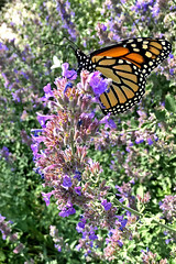 My neighborhood in Albuquerque with iPhone: Monarch. New Mexico, USA. (cbrozek21) Tags: monarch butterfly