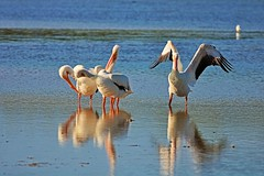 The Dramatic Magistrate (Michiale Schneider) Tags: nature water bird pelicans florida sanibelisland michialeschneiderphotography dingdarlingwildliferefuge americanwhite