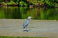 I Write You in My Songs (Michiale Schneider) Tags: greatblueheron nature water bird sanibelisland michialeschneiderphotography dingdarlingwildliferefuge florida
