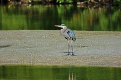Counting the Steps Between Us (Michiale Schneider) Tags: greatblueheron nature water bird florida sanibelisland michialeschneiderphotography dingdarlingwildliferefuge