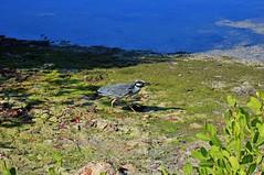 Walk in the Morning Light (Michiale Schneider) Tags: yellowcrownednightheron crab nature water bird florida sanibelisland michialeschneiderphotography dingdarlingwildliferefuge