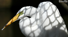 """All the beauty of life is made up of light and shadow"" (Shannon Rose O'Shea) Tags: shannonroseoshea shannonosheawildlifephotography shannonoshea shannon greategret egret bird beak white ardeaalba shadows profile closeup close alligatorbreedingmarshandwadingbirdrookery gatorland orlando florida gatorlandbirdrookery rookery colorful colourful camera art photo photography photograph wild wildlifephotography wildlifephotographer nature wildlife waterfowl wildlifephotograph femalephotographer girlphotographer womanphotographer shootlikeagirl shootwithacamera throughherlens birdphotographer naturephotographer canon canoneos80d canon80d canon100400mm14556lisiiusm eos80d eos 80d 80dbird canon80d100400mmusmii 2019 canongirl light outdoors outdoor outside fenceshadow lores"