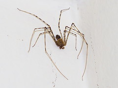 Araña tigre de patas largas (Scytodes globula). (Andres Bertens) Tags: 8649 olympusem10markii olympusomdem10markii olympusm45mmf18 olympusmzuikodigital45mmf18 rawtherapee araña spider scytodesglobula arañatigre