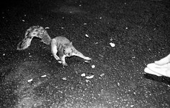 Gie's a wee bit! (Mano Green) Tags: squirrel animal wildlife park glasgow scotland uk summer june 2016 canon eos 300 40mm lens ilford hp5 400 35mm film ilfosol s epson perfection v550 black white street nature urban