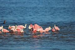 Water Dance (Michiale Schneider) Tags: roseatespoonbills nature water bird florida sanibelisland michialeschneiderphotography dingdarlingwildliferefuge