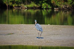 Where Do You Think You're Going (Michiale Schneider) Tags: greatblueheron nature water bird florida sanibelisland michialeschneiderphotography dingdarlingwildliferefuge