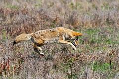 Concentration (lennycarl08) Tags: coyote animalplanet wildlife pointreyesnationalseashore pointreyes