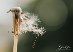 ~Sometimes all we have left is a wish and a hope. (Fire Fighter's Wife) Tags: dandelion wish makeawish wishes nature flower nikon nikond750 60mm weed macro bokeh bokehlicious green sun sunlight sunny dream dreamy hope seed seeds spring