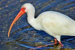 Woke Up Too Early (Michiale Schneider) Tags: ibis nature water bird florida sanibelisland michialeschneiderphotography dingdarlingwildliferefuge