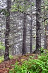 Spruce Forest (esywlkr) Tags: nature nc northcarolina brp blueridgeparkway pisgahnationalforest warrenreed