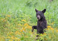 Black Bear Cub (Brian_Harris_Photography) Tags: black bear cub yellow green park prime nikon nature nikkor natural light wildlife tree hiking national portrait