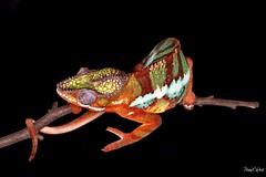 (PNWheat) Tags: macro lizard reptile pantherchameleon