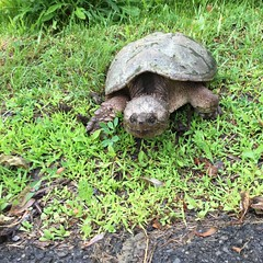 snapper (PhotonPirate) Tags: snapping turtle