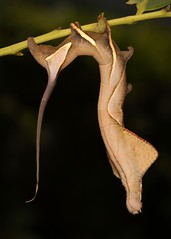 Endromid Moth Caterpillar (Oberthueria sp., Endromidae) (John Horstman (itchydogimages, SINOBUG)) Tags: insect macro china yunnan itchydogimages sinobug entomology canon moth lepidoptera caterpillar larva endromidae black explore topf25 topf50