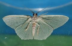 White shouldered speckled emerald moth Prasinocyma floresaria Geometrini Geometridae Mandalay rainforest Airlie Beach P1060930 (Steve & Alison1) Tags: white shouldered speckled emerald moth prasinocyma floresaria geometrini geometridae mandalay rainforest airlie beach