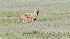 eastern coyote (quadceratops) Tags: massachusetts nature saugus rumney marsh eastern coyote coydog coywolf