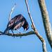 iraúna-grande (Molothrus oryzivorus)