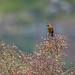 garibaldi (Chrysomus ruficapillus)