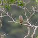 quiriquiri (Falco sparverius)