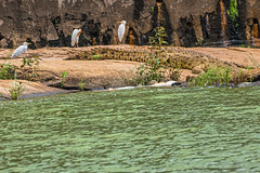 TRANQUILLI CONTROLLIAMO NOI   ---   DON'T WORRY, LET'S CHECK  IT    ---   EXPLORE (Ezio Donati is ) Tags: animali animals uccelli birds acqua water fiume river natura nature westafrica costadavorio areataboo barrageriverbandama