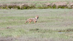 eastern coyote (quadceratops) Tags: massachusetts nature saugus rumney marsh eastern coyote coydog coywolf