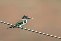 martim-pescador-verde (Chloroceryle amazona) (Ana Carla AZ) Tags: lidice martimpescadorverde coraciiformes brazil chloroceryleamazona alcedinidae rj americadosul rioclaro aves birds