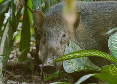 20190228-_SNG3941 (shirl6900) Tags: susscrofa wildboar