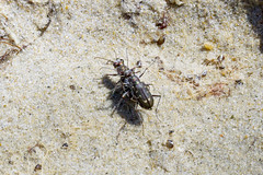 Carabidae: Cicindelinae: Cicindela hirticollis rhodensis (Hairy-necked Tiger Beetle) (Kristof Zyskowski and Yulia Bereshpolova) Tags: carabidae cicindelinae rhodeisland cicindela hairyneckedtigerbeetle hirticollis rhodensis