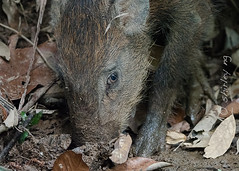 20190303-_SNG4832 (shirl6900) Tags: susscrofa wildboar