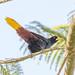 japu (Psarocolius decumanus)
