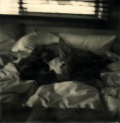 half listening.... (bunchadogs & susan [OFF]) Tags: chaithesmoothsaluki polaroid polaroidslr680 fortunacalifornia