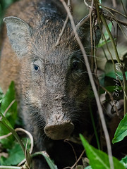 20190303-_SNG4755 (shirl6900) Tags: susscrofa wildboar