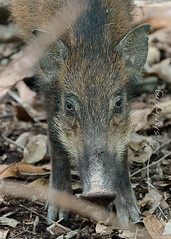 20190305-_SNG4975 (shirl6900) Tags: susscrofa wildboar