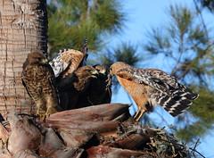 Food fight (charlescpan) Tags: red shouldered hawk prey