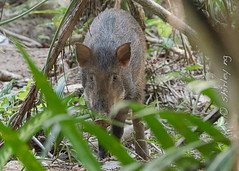 20190228-_SNG3938 (shirl6900) Tags: susscrofa wildboar